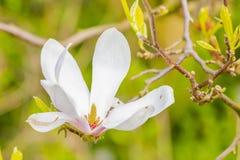 开花在春天的美丽的白色和紫色木兰 库存图片