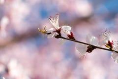 开花在春天的美丽的花 免版税图库摄影