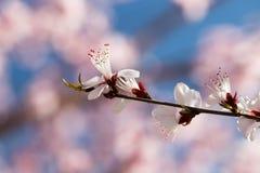 开花在春天的美丽的花 图库摄影