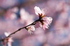 开花在春天的美丽的花 免版税库存图片