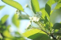 开花在春天的苹果与绿色叶子,宏指令 免版税库存图片