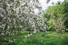 开花在春天的苹果计算机庭院 免版税图库摄影