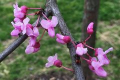 开花在春天的许多得克萨斯redbuds 免版税库存图片