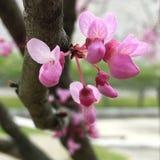 开花在春天的许多得克萨斯redbuds 库存照片