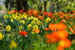 开花在春天的黄色和橙色黄水仙在康沃尔郡公园 库存照片