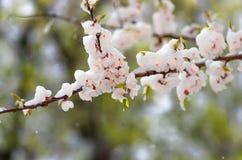 开花在春天被盖的前雪的杏树 免版税图库摄影