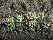 开花在春天阳光的一个小组报春花 库存图片
