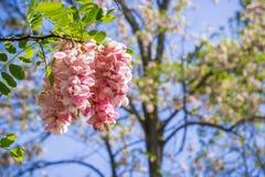 开花在春天,加利福尼亚的桃红色金合欢花 库存照片
