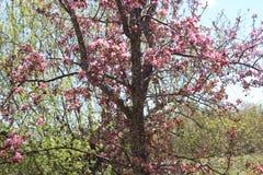 开花在春天绽放的山楂子树 免版税库存图片
