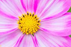开花在春日的美丽的桃红色波斯菊花由宏指令 库存图片