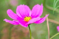 开花在春日的美丽的桃红色波斯菊花由宏指令 免版税图库摄影