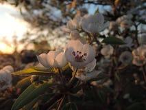 开花在晚上,日落 库存图片