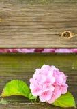 开花在木墙壁外面的桃红色八仙花属 免版税库存照片
