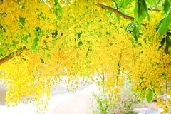 开花在树在河附近,在背景的五颜六色的金黄阵雨的黄色ratchaphruek花 免版税库存照片