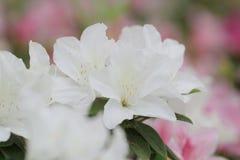 开花在树的杜娟花 免版税图库摄影
