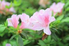 开花在树的杜娟花 免版税库存图片