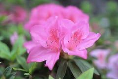 开花在树的杜娟花 免版税库存照片