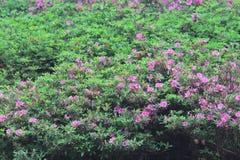 开花在树的杜娟花 库存图片