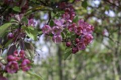 开花在树的树荫下的桃红色crabapple 库存图片