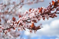 开花在树的桃红色花在春天 免版税库存图片
