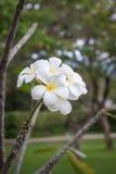 开花在树的泰国白花 免版税库存图片