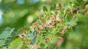 开花在树的罗望子树花 库存照片