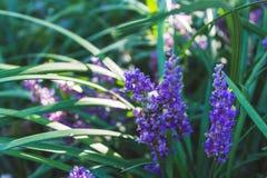 开花在树荫下的小紫色花 库存图片