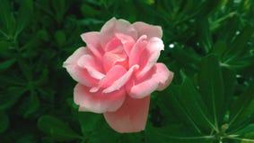 开花在桃红色玫瑰狂放,美丽的大花  在深绿叶子背景  拉丁文和柔软 免版税库存图片