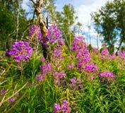 开花在桦树中的一块森林沼地的野草 免版税库存图片