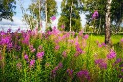 开花在桦树中的一块森林沼地的野草 库存照片