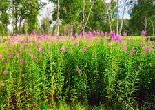 开花在桦树中的一块森林沼地的野草 图库摄影