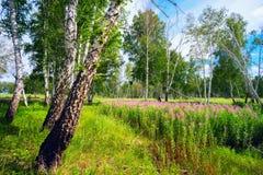 开花在桦树中的一块森林沼地的野草 库存图片