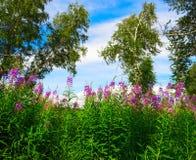 开花在桦树中的一块森林沼地的野草 免版税图库摄影