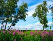 开花在桦树中的一块森林沼地的野草 免版税库存照片