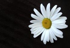 开花在棕色绒面革背景的戴西 特写镜头 安置文本 在视图之上 免版税库存图片