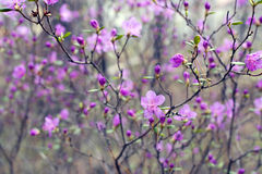 开花在森林喇叭茶 免版税库存图片