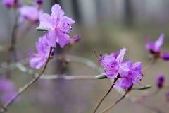 开花在森林喇叭茶 库存图片