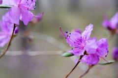 开花在森林喇叭茶 库存照片