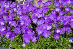 开花在植物世界的绽放的特写镜头  免版税库存图片