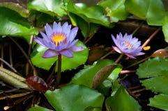 开花在植物园的莲花 免版税库存图片