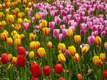 开花在樟树之间的五颜六色的郁金香的领域在早期的春天 免版税图库摄影