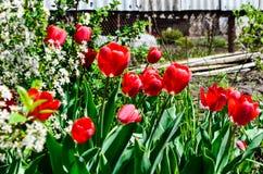 开花在樱桃的郁金香 免版税库存图片