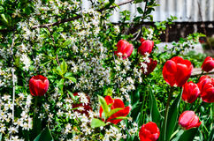 开花在樱桃的郁金香 库存图片