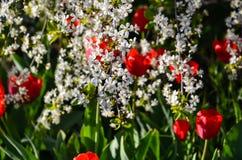 开花在樱桃的郁金香 免版税库存照片
