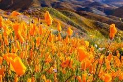 开花在步行者峡谷在superbloom期间,湖埃尔西诺,南部加利福尼亚的花菱草 免版税库存图片