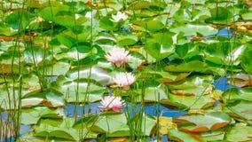 开花在水的这朵美丽的荷花或莲花在庭院里 免版税库存图片