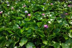 开花在水的这朵美丽的荷花或莲花 库存照片