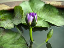 开花在水罐的紫色莲花 图库摄影