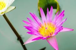 开花在池塘的桃红色荷花花 库存图片