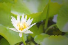开花在池塘的白莲教花 库存照片